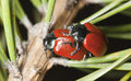 Free Red Poplar Leaf Beetle Royalty Free Stock Image - 19578916
