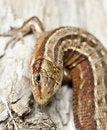 Free Common Lizard, Zootoca Vivipara Royalty Free Stock Photo - 19579845
