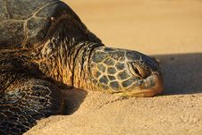 Free Close-up Of A Hawaiian Seat Turtle Stock Image - 19570471