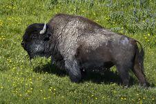 Free Buffalo Royalty Free Stock Photography - 19570507