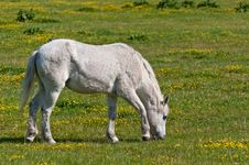 Free White Horse Grazing In The Meadow Royalty Free Stock Photos - 19572168