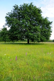 Free Oak Tree In The Meadow Stock Photo - 19572170