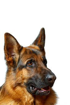 Free German Shepherd Stock Images - 19572354
