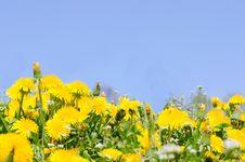 Free Beautiful Spring Dandelion Royalty Free Stock Image - 19573146