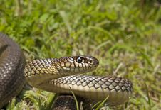 Free Caspian Whip Snake Royalty Free Stock Image - 19573366
