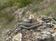 Free Caspian Whip Snake Sunbathing Stock Photo - 19573400