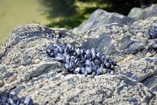 Free Shells Attached To Cliff Rocks Stock Photos - 19574183