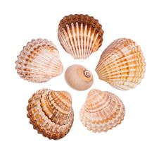 Six Common Cockle Shells Stock Images