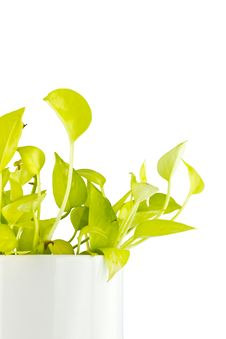 Free Devil S Ivy On White Background Stock Images - 19575244