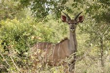 Free Male Kudu Staring Stock Images - 19575714