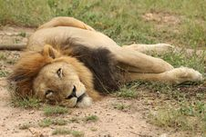 Free Lazy Male Lion Royalty Free Stock Photos - 19575758