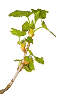 Free Young Springs Bush, Saplings Of A Currant Royalty Free Stock Image - 19576286