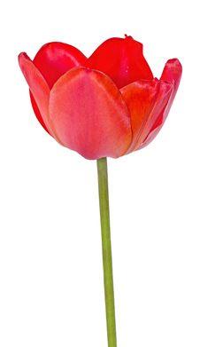 Free Bright Scarlet Tulip Royalty Free Stock Image - 19576436