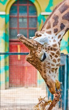 Free Giraffe Are Eating Leaves Royalty Free Stock Photos - 19576668