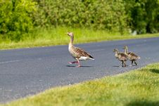 Free Goose Family Royalty Free Stock Photography - 19576847