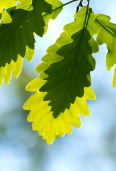 Free Oak Leaf Stock Photography - 19577092