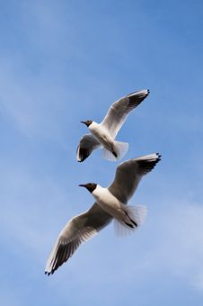 Two Seagulls Stock Image