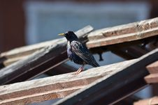 Starling On The Roof Stock Photos