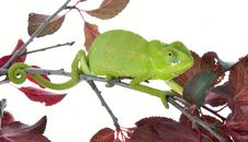 Free Chameleon Stock Photography - 19578182