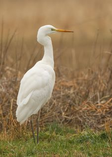 Free Great White Heron Royalty Free Stock Image - 19578196