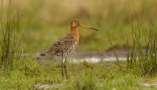 Free Godwit In Teh Field Stock Images - 19578224