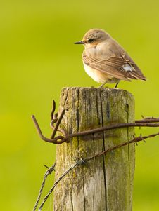 Wheatear Royalty Free Stock Photos