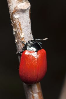 Red Poplar Leaf Beetle (Chrysomela Populi) Stock Photo