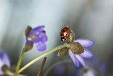 Free Ladybug Sitting On Liverleaf Royalty Free Stock Photography - 19579237