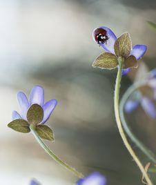 Free Ladybug Sitting On Liverleaf Stock Photo - 19579310