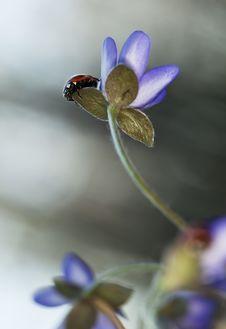Free Ladybug Sitting On Liverleaf Royalty Free Stock Photos - 19579318