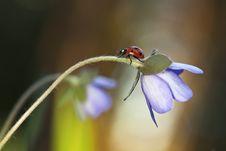 Free Ladybug Sitting On Liverleaf Royalty Free Stock Photos - 19579328