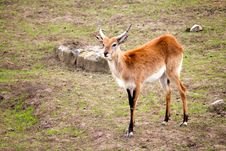 Free Antelope Stock Photography - 19579332