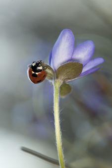 Free Ladybug Sitting On Liverleaf Royalty Free Stock Photo - 19579335