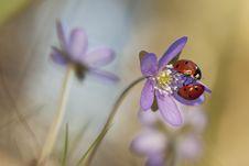 Free Ladybugs Sitting On Liverleaf Stock Images - 19579344