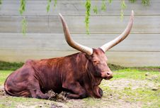 Free Brown Bull Royalty Free Stock Images - 19579379