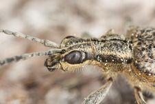 Ribbed Pine Borer (Rhagium Inquisitor) Stock Image