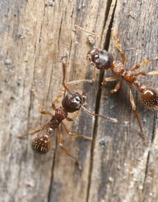 Free Red Ants (Myrmicinae) On Wood Stock Photo - 19579710