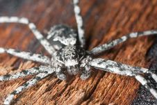 Free Wolf Spider On Burnt Coal Royalty Free Stock Images - 19579919