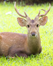 Free Deer Royalty Free Stock Photography - 19589847