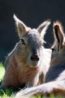 Free Patagonian Hare Stock Image - 19580311