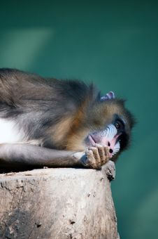 Free Wild Mandrill Stock Photos - 19580333