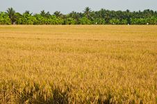 Free Rice Field And Trees Stock Image - 19580991