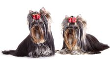 Free Yorkshire Terrier Puppie Royalty Free Stock Photo - 19582095