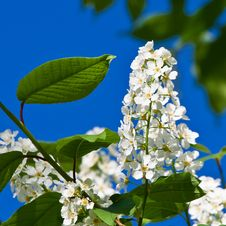 Free Inflorescence Of A Blossoming Birdcherry Stock Photo - 19583210