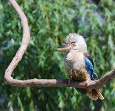 Free Blue-winged Kookaburra Royalty Free Stock Images - 19583649