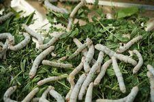 Free Silkworm Royalty Free Stock Image - 19583706