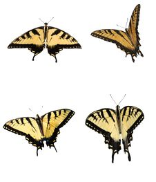 Free Eastern Tiger Swallowtail Royalty Free Stock Photo - 19584525