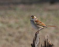 Free White Throated Sparrow Royalty Free Stock Photos - 19584638
