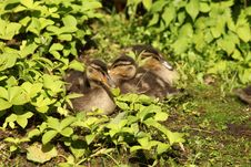 Free Group Of Ducklings Royalty Free Stock Photo - 19585535