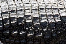 Free Crocodile Skin Stock Photos - 19586493
